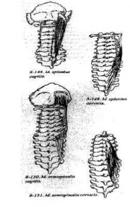 Mmextensori cervici