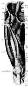 M. quadriceps