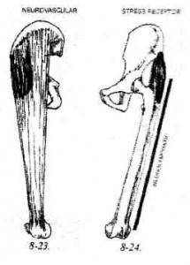 M. tensor fasciae latae
